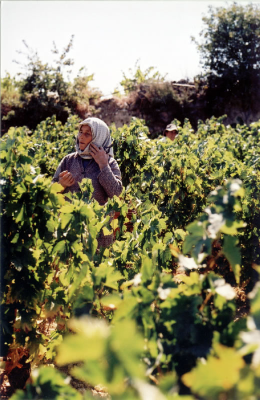Cyprus wines vineyard
